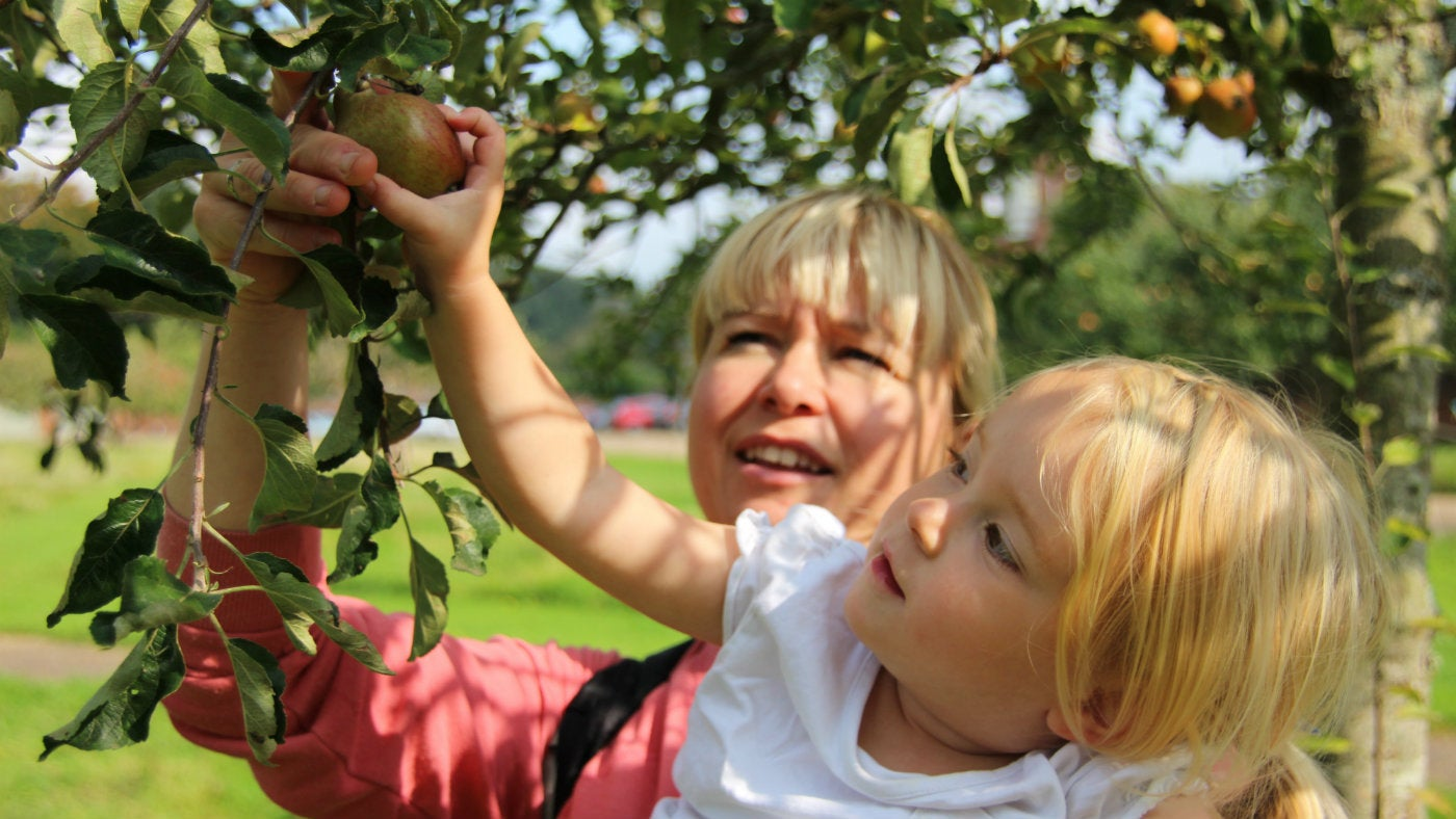 Enjoy apple picking in Blickling's orchard.