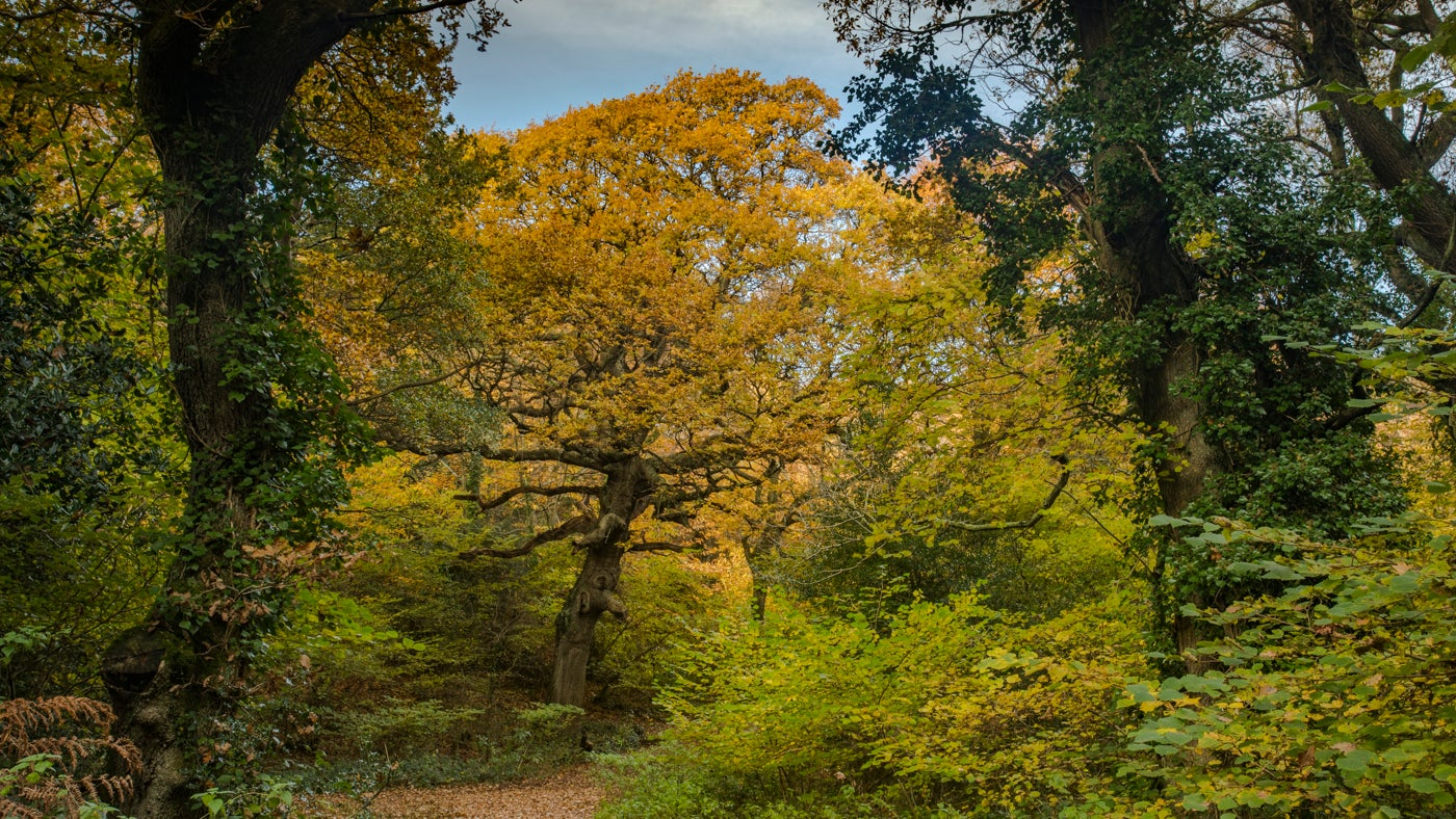 Lovely golden autumn colours in Borthwood Copse