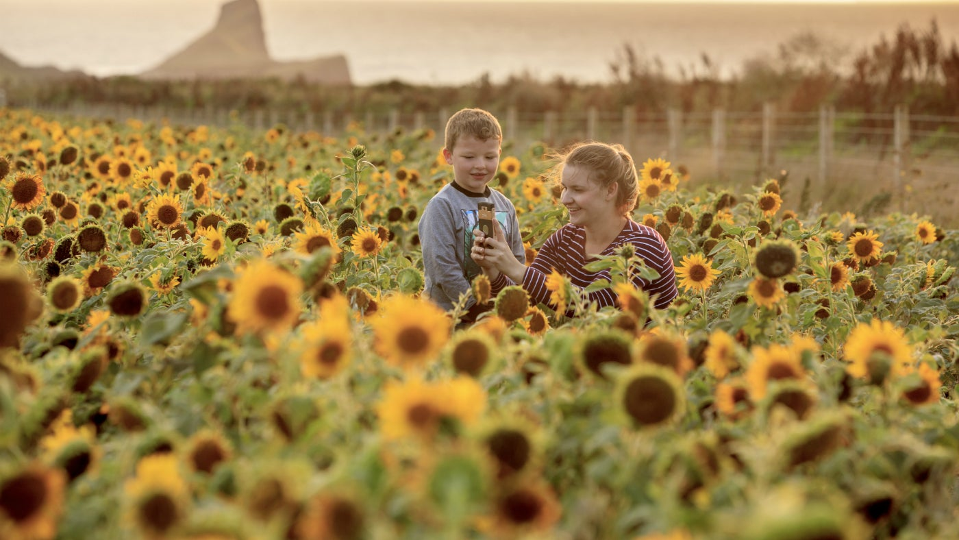 A mother and son taking photographs in a field of sunflowers