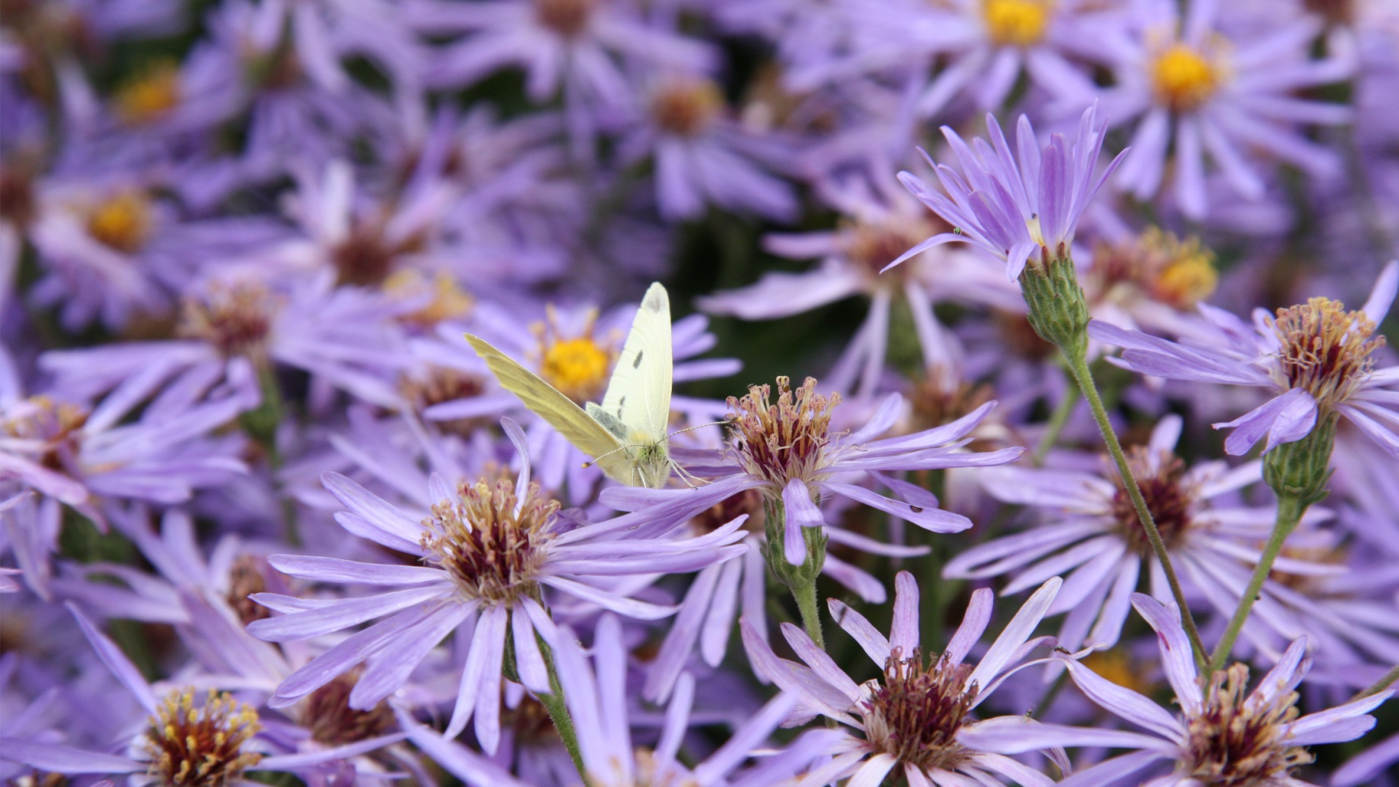 A butterfly resting on a purple aster