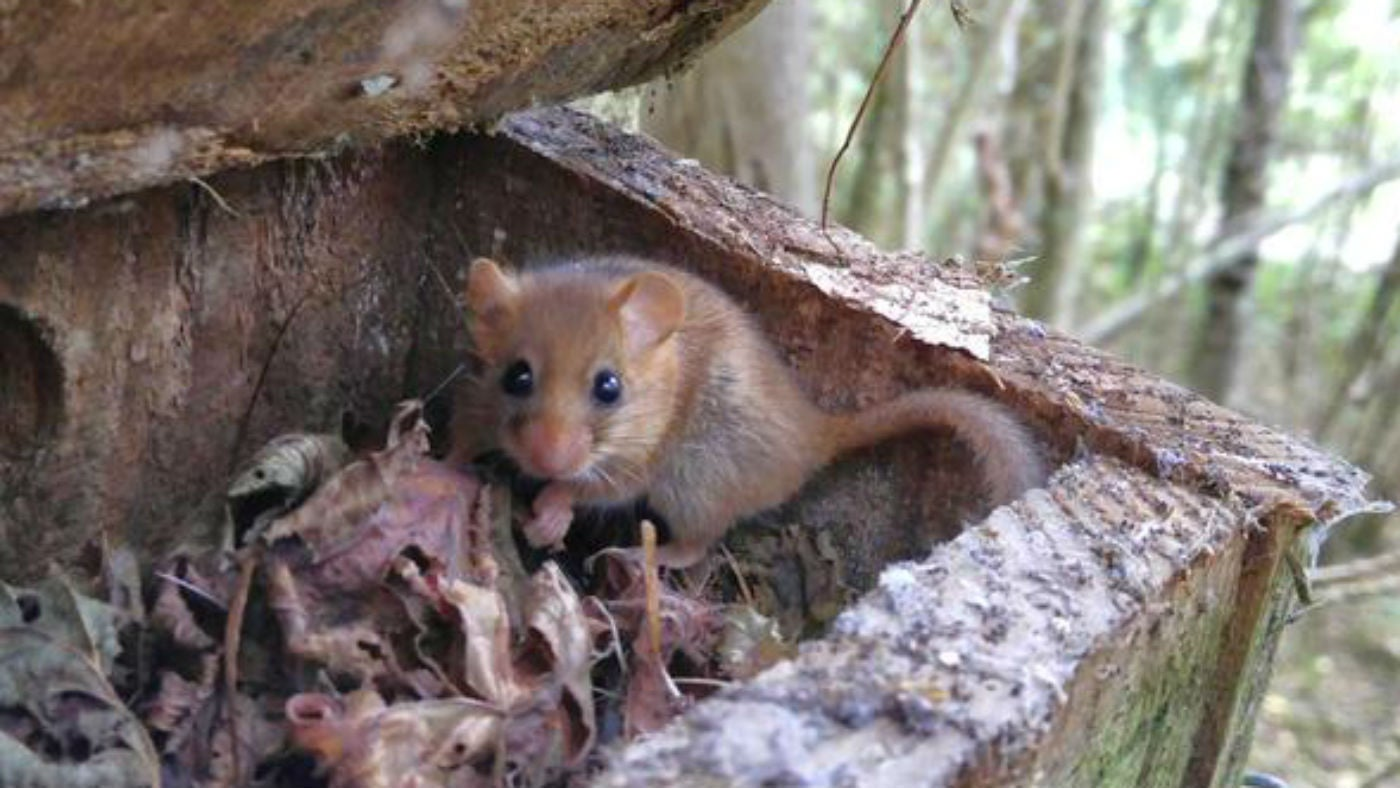 Dormouse in nesting box