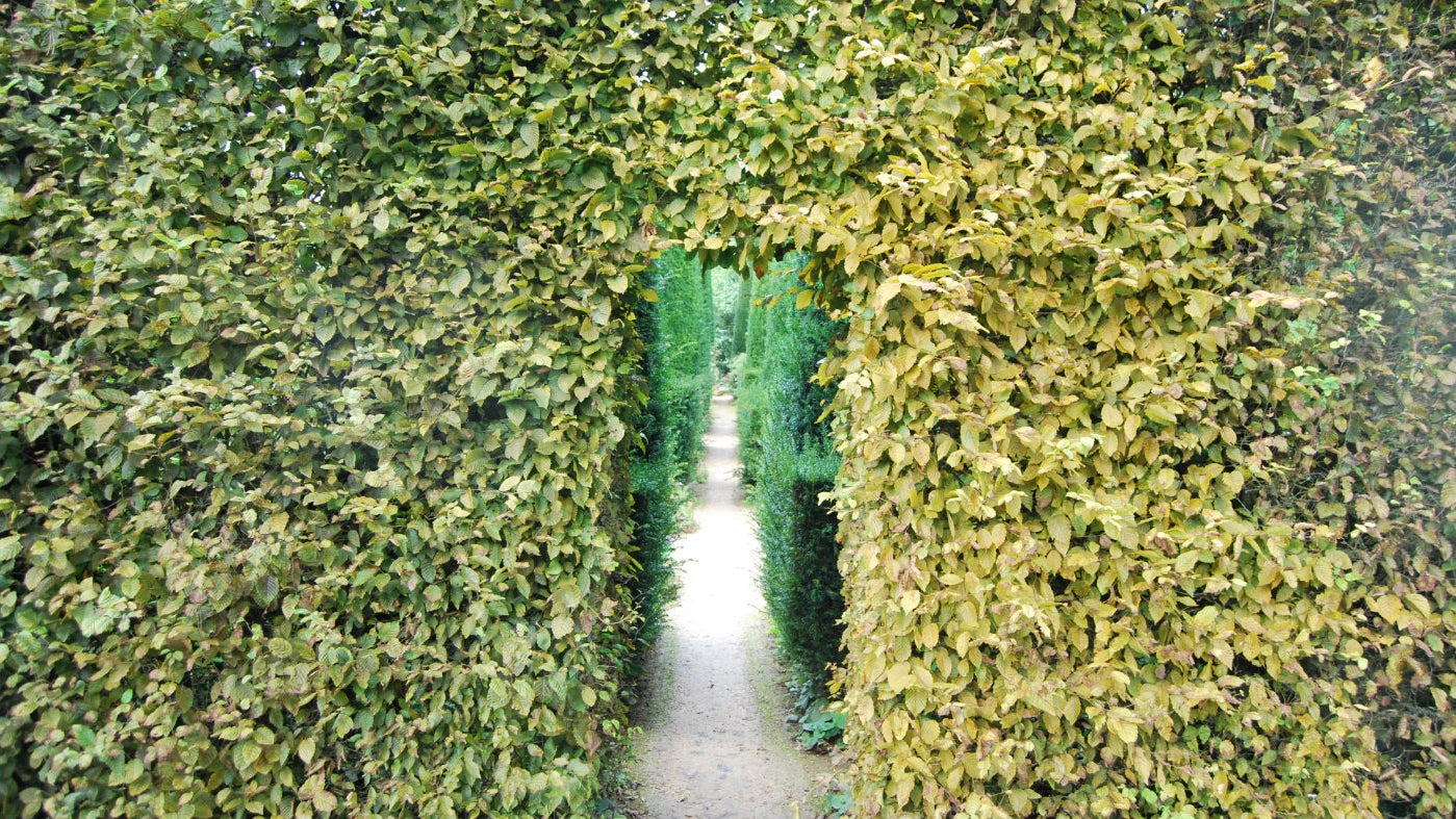 Hedges at Hidcote