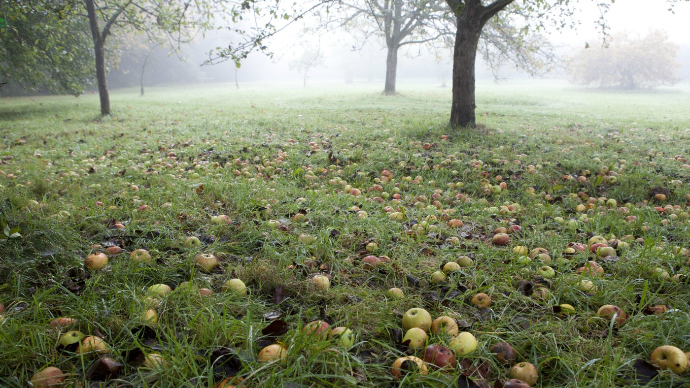 Fallen apples in a misty orchard