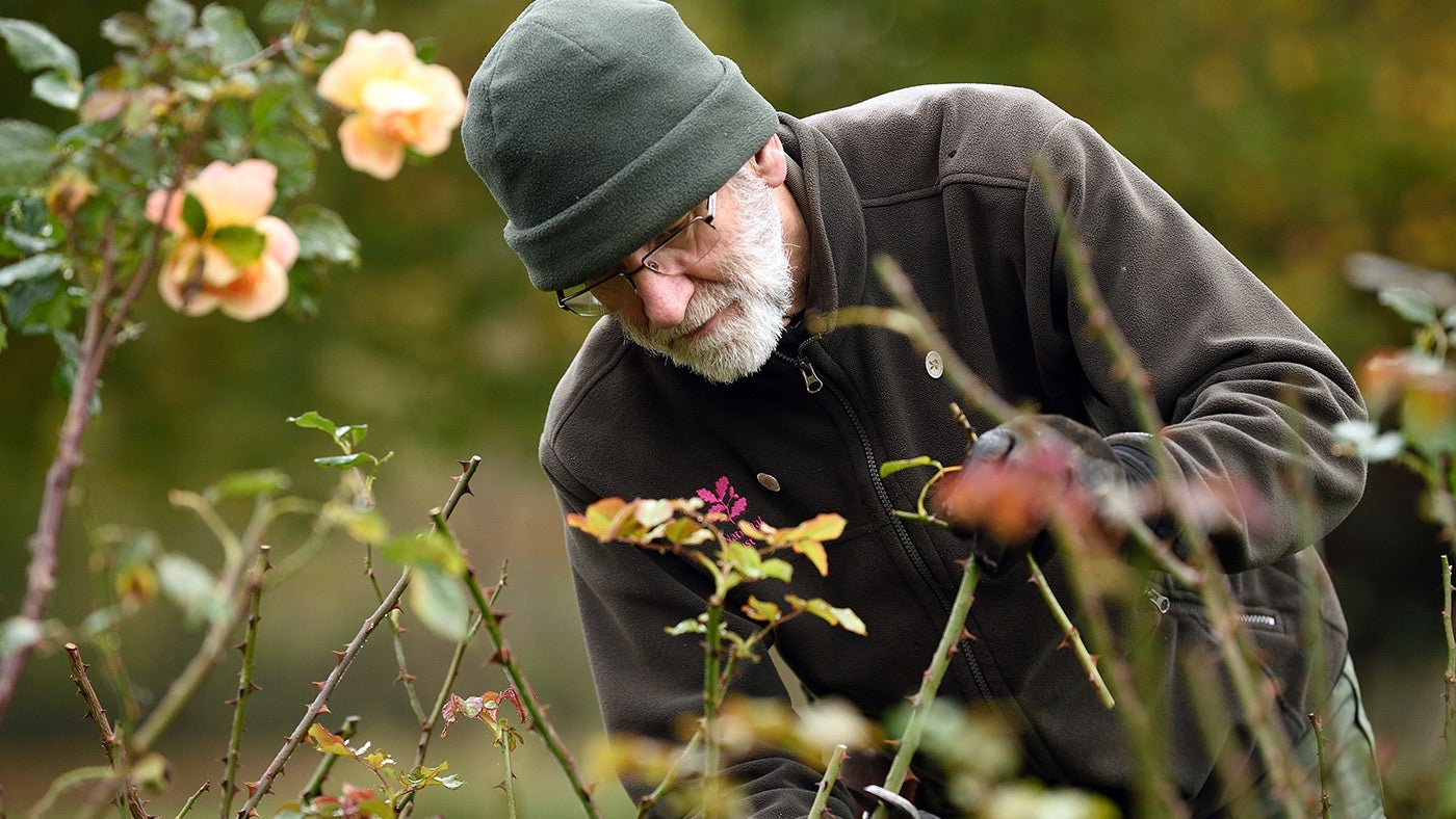 Garden volunteer pruning roses