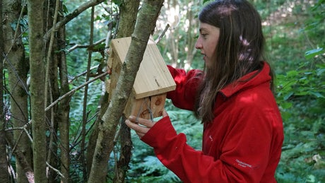 Checking dormice nesting boxes in Devon
