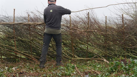 Ranger applying the finishing touches to a newly laid hedge