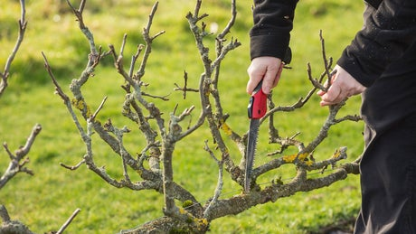 Volunteer pruning on a working holiday