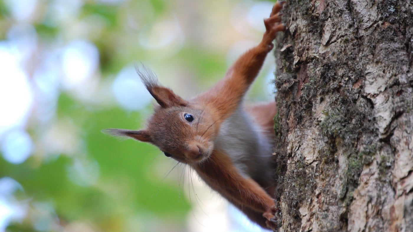 A red squirrel at Crom estate, Northern Ireland