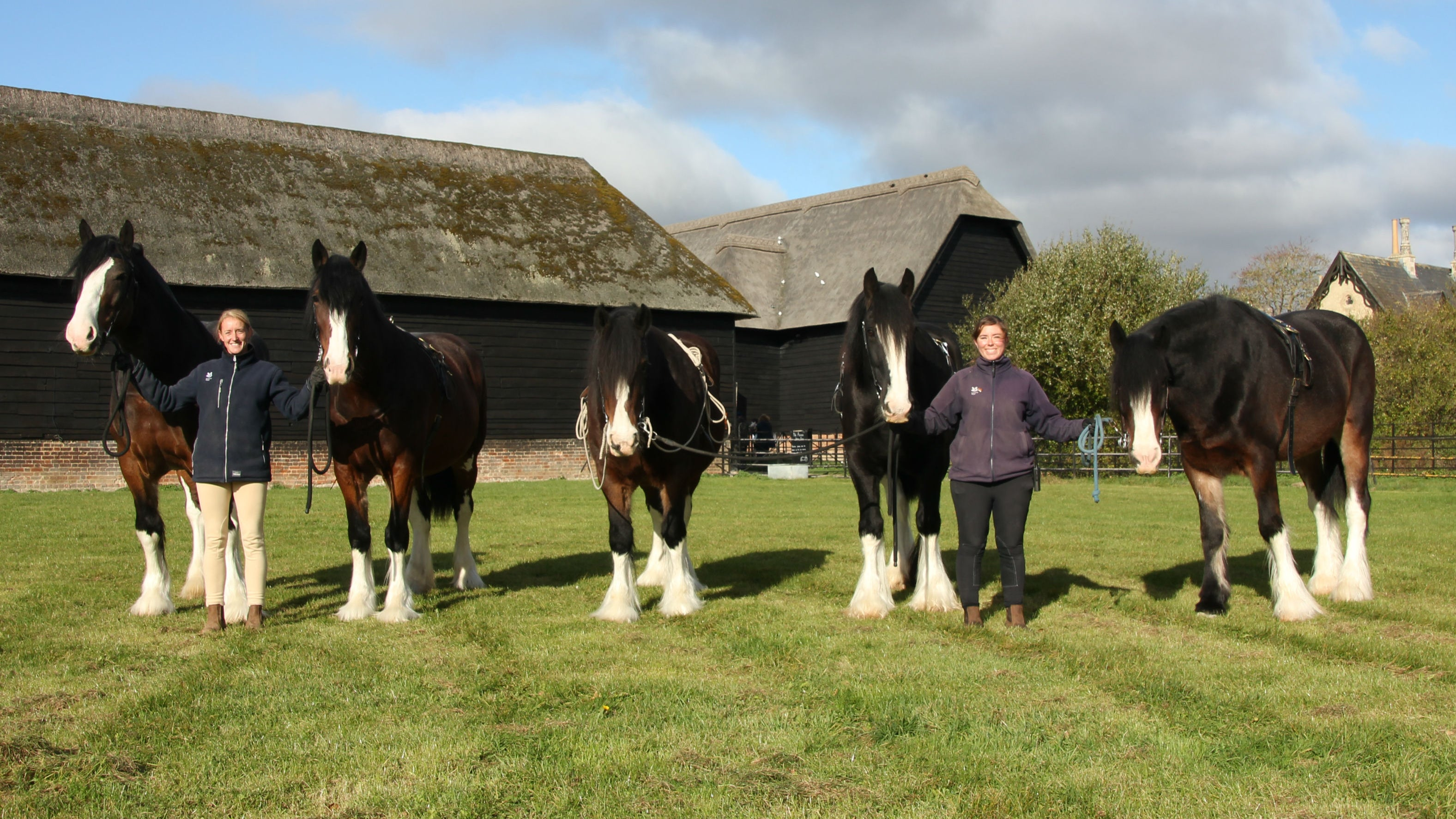 Five shire horses in a row in the paddock at Home Farm