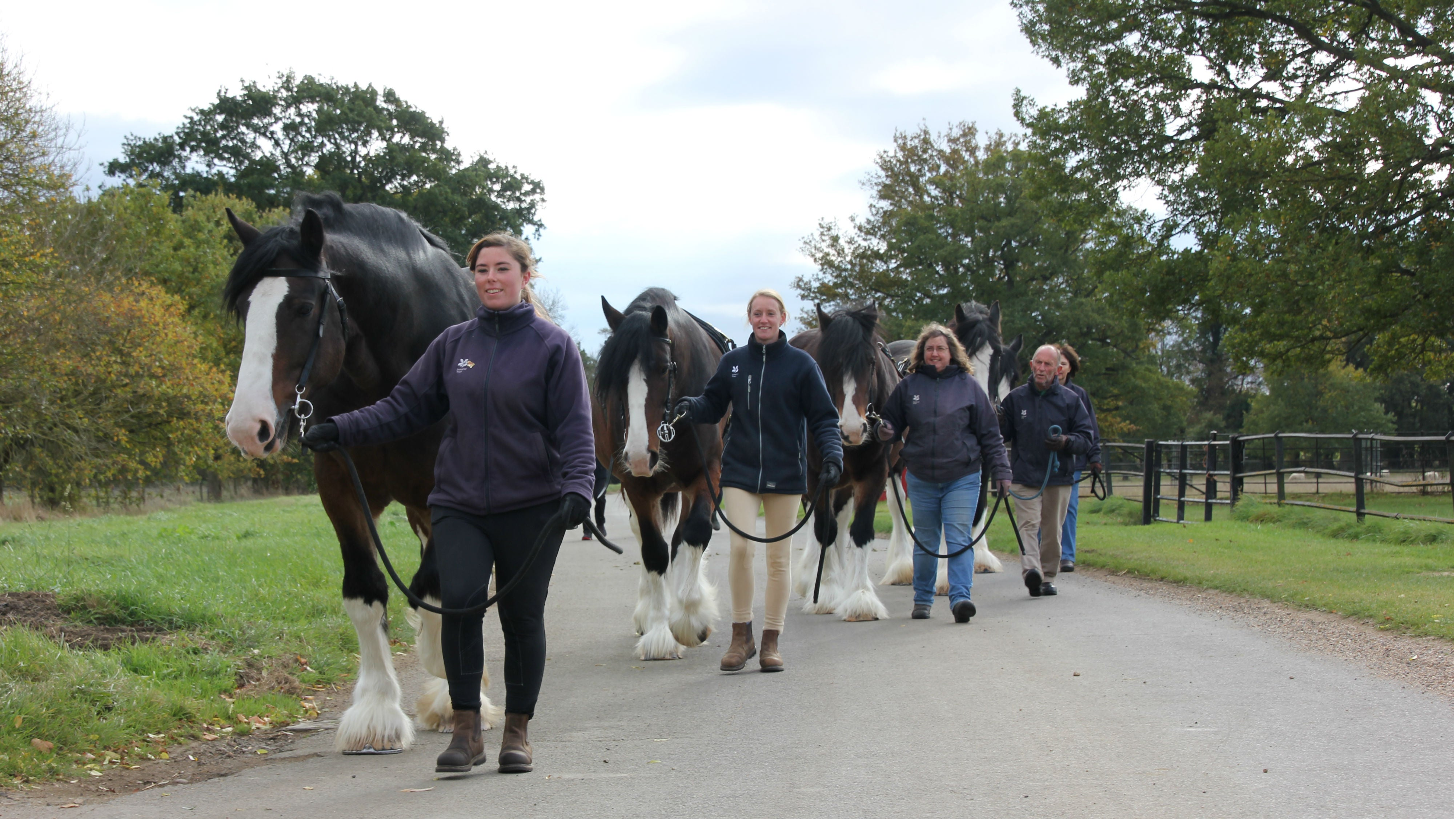 Wimpole shire horses coming in from the paddock