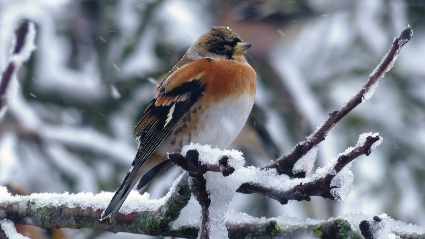 A male brambling in the snow