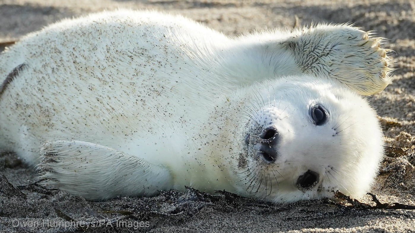 A seal pup on the Farne Islands