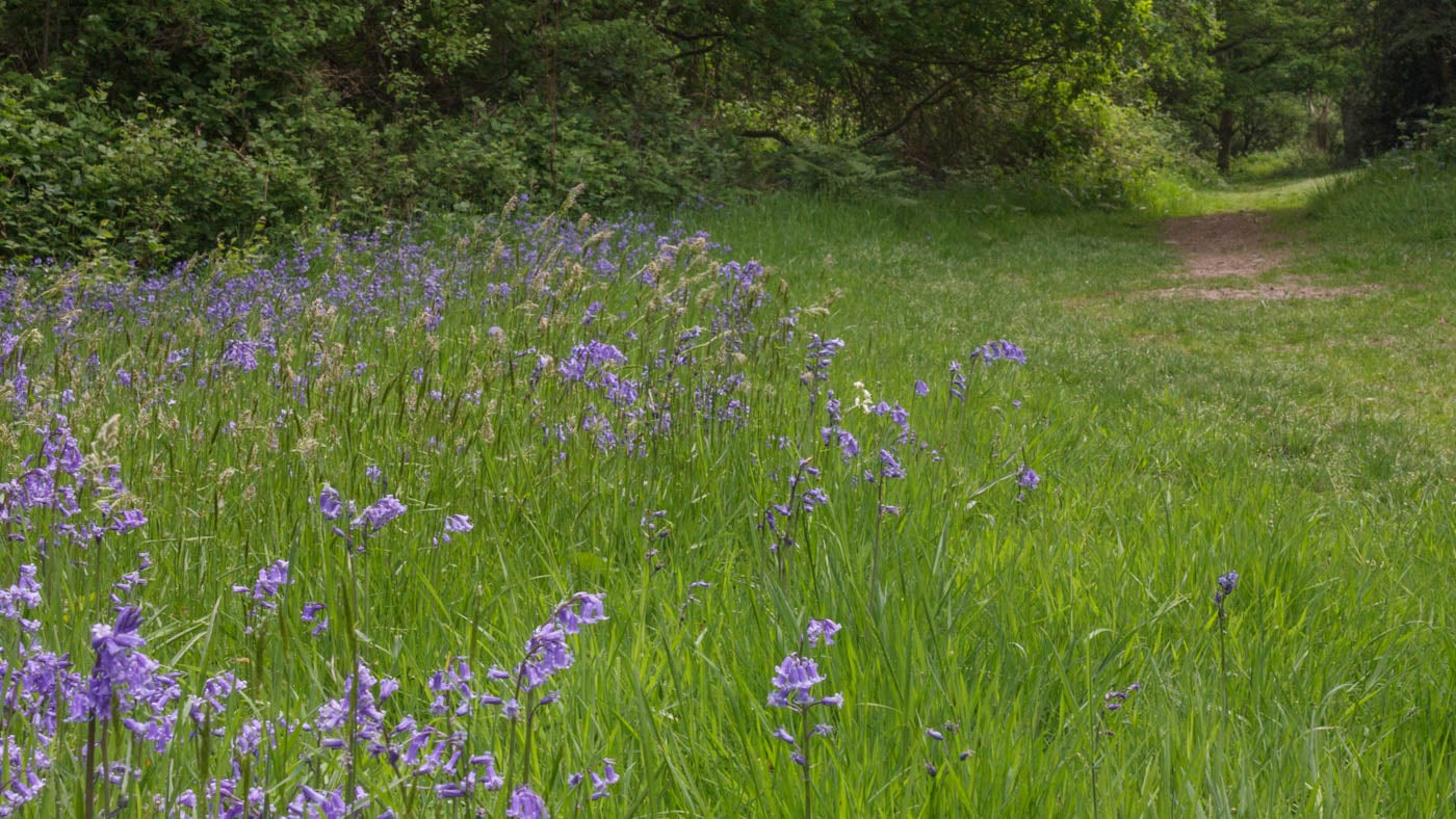 Enjoy the bluebells at Holmwood Common