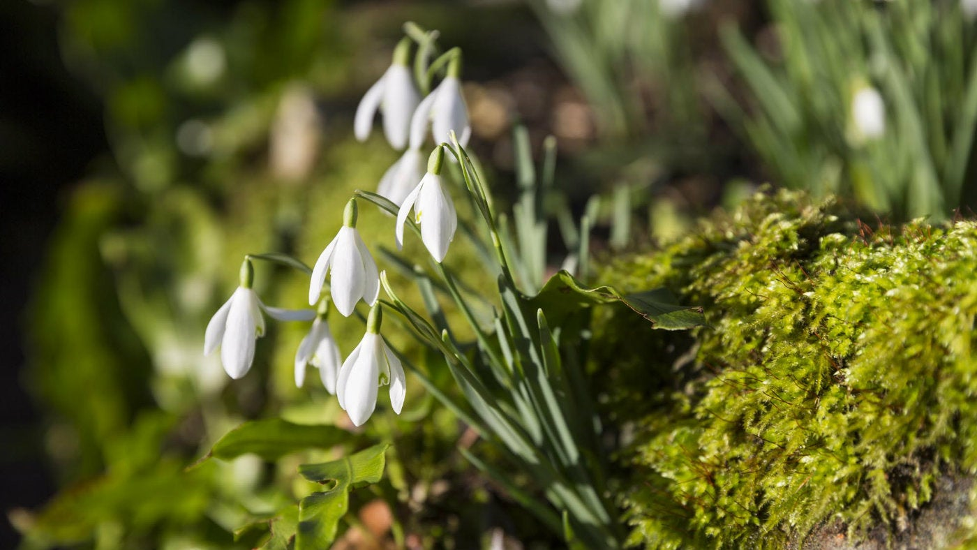Snowdrops at Kingston Lacy in Dorset