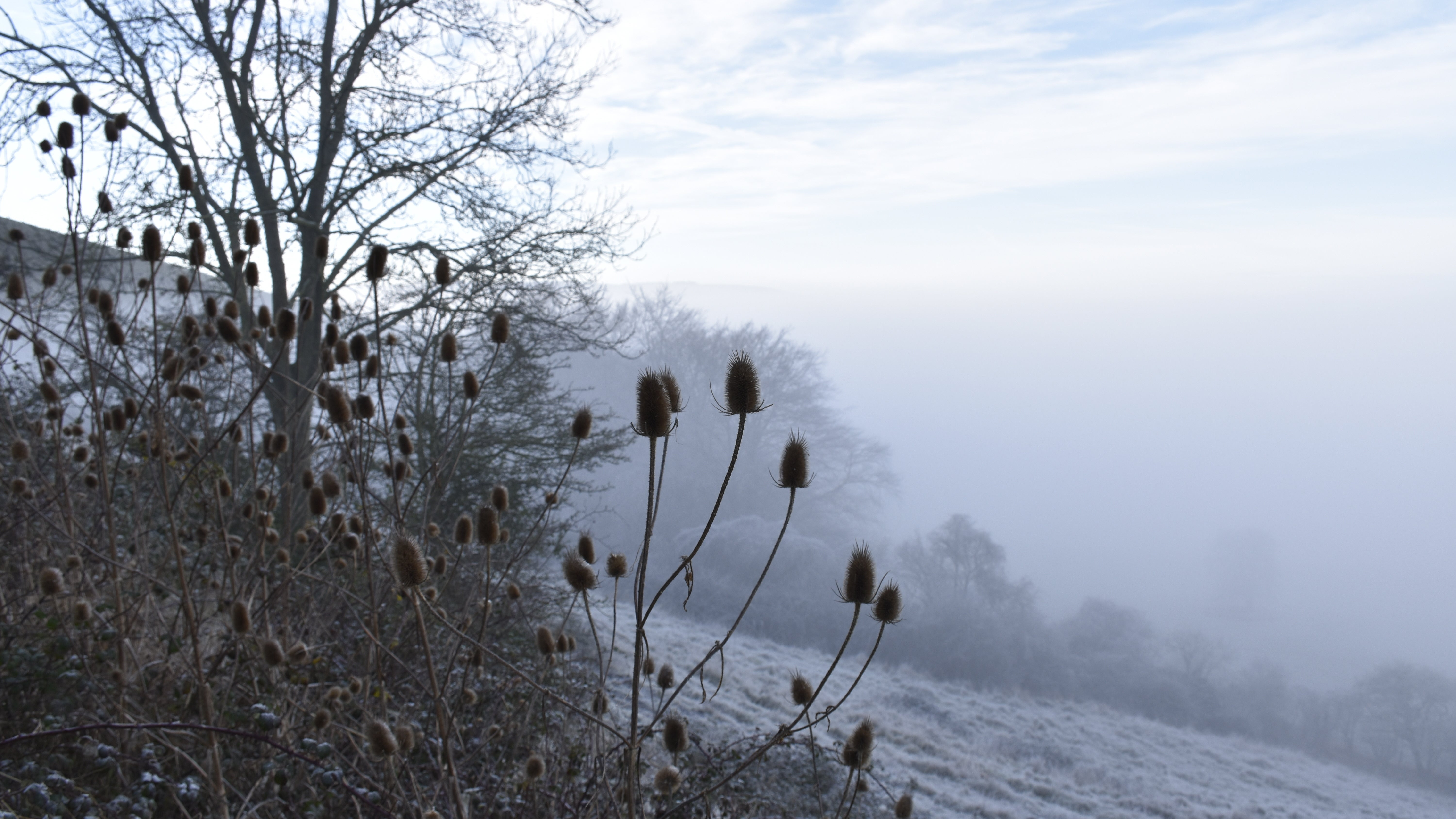 Teasels in the mist on Hambledon Hill