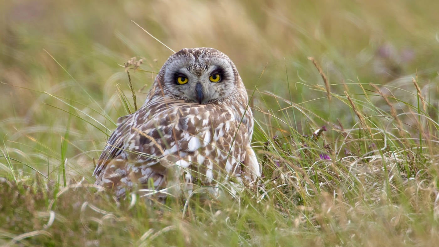 Close up image of a short-eared owl standing on the moor.