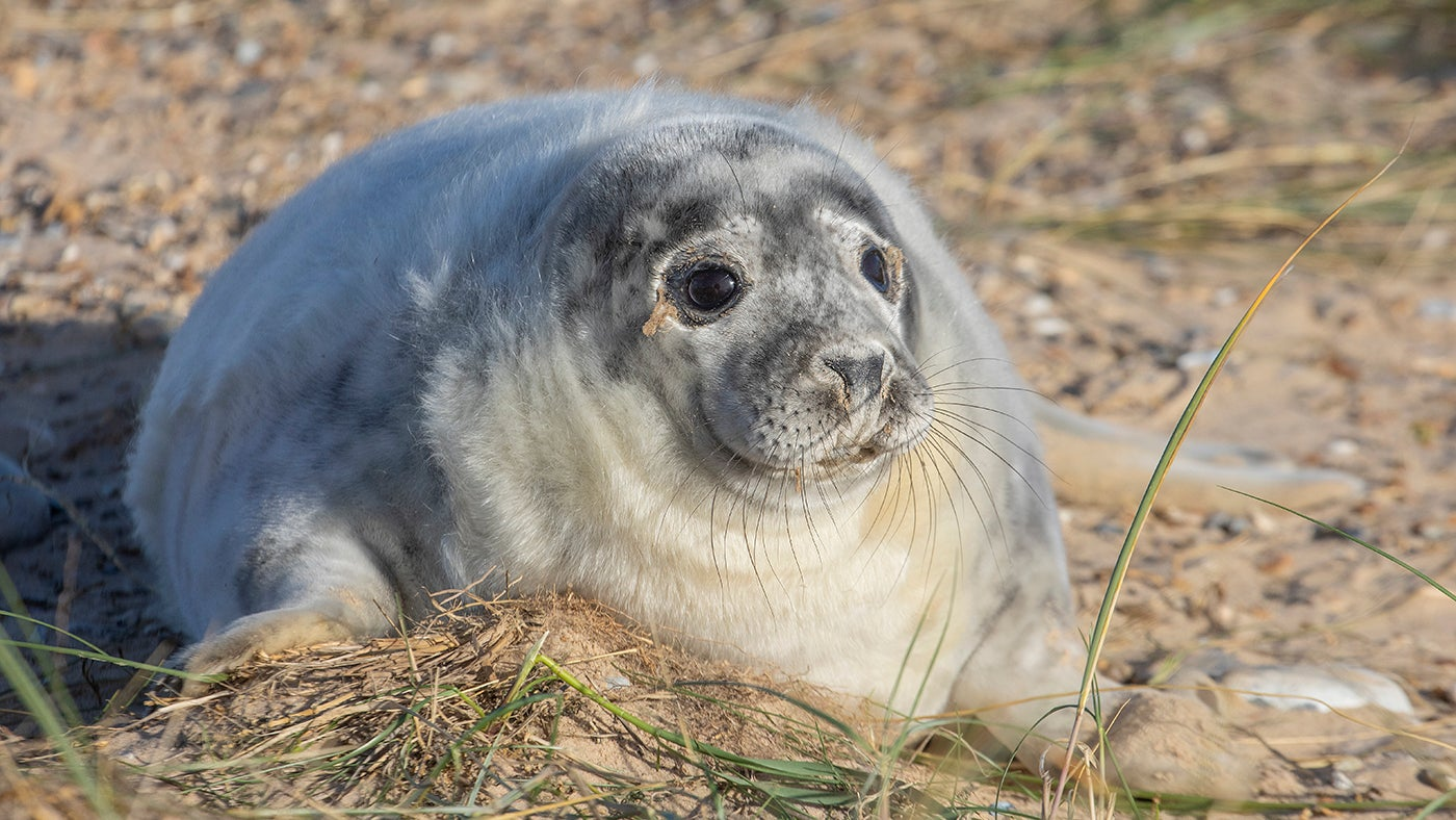 a fluffy white grey seal pup with a greying face sat on golden sand with some green marram grass in the fore ground