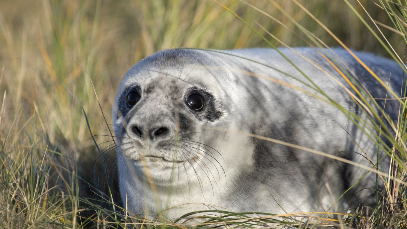A weaned grey seal pup in grass at Blakeney Point