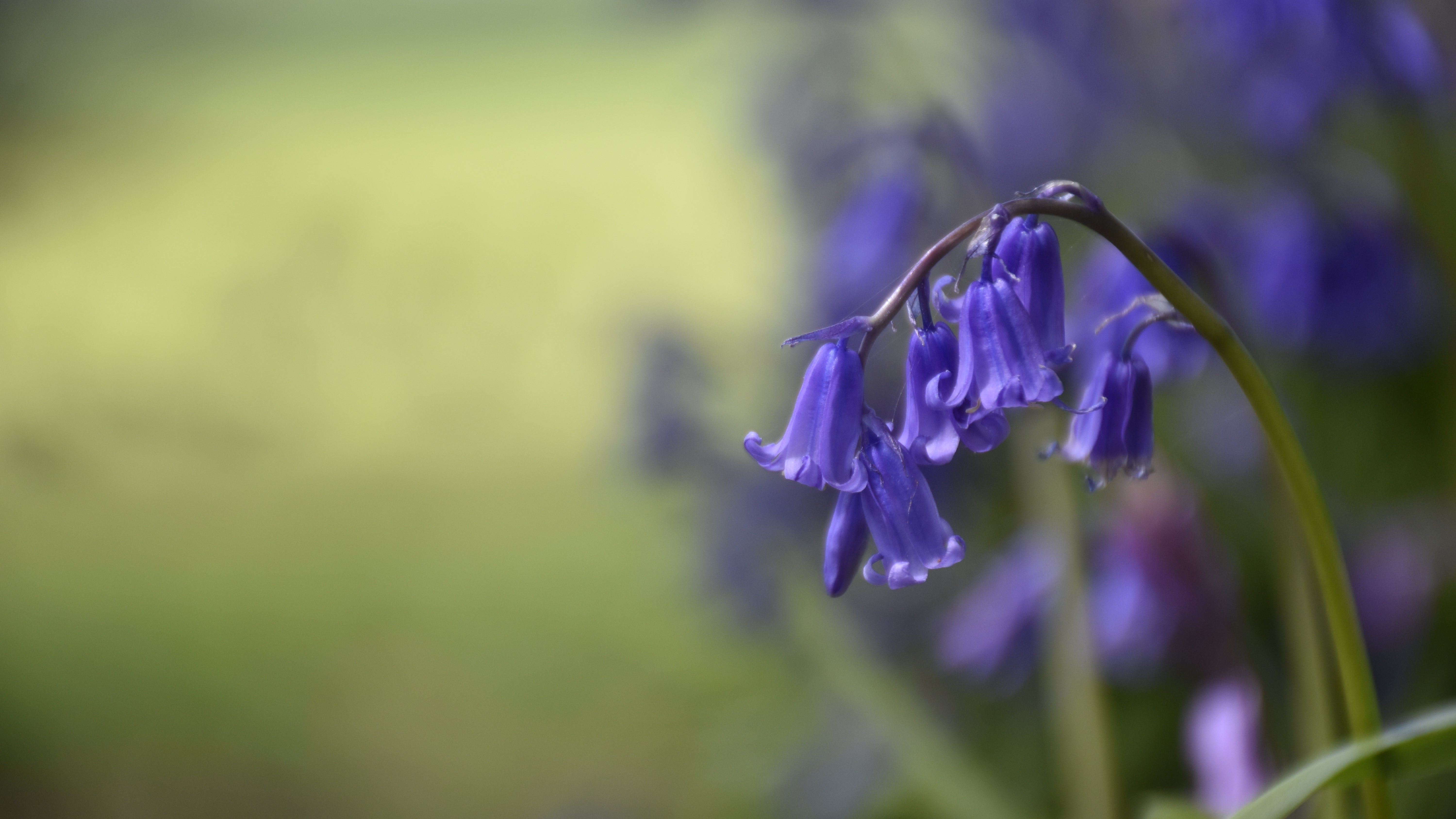 Bluebells growing on the Tyntesfield estate