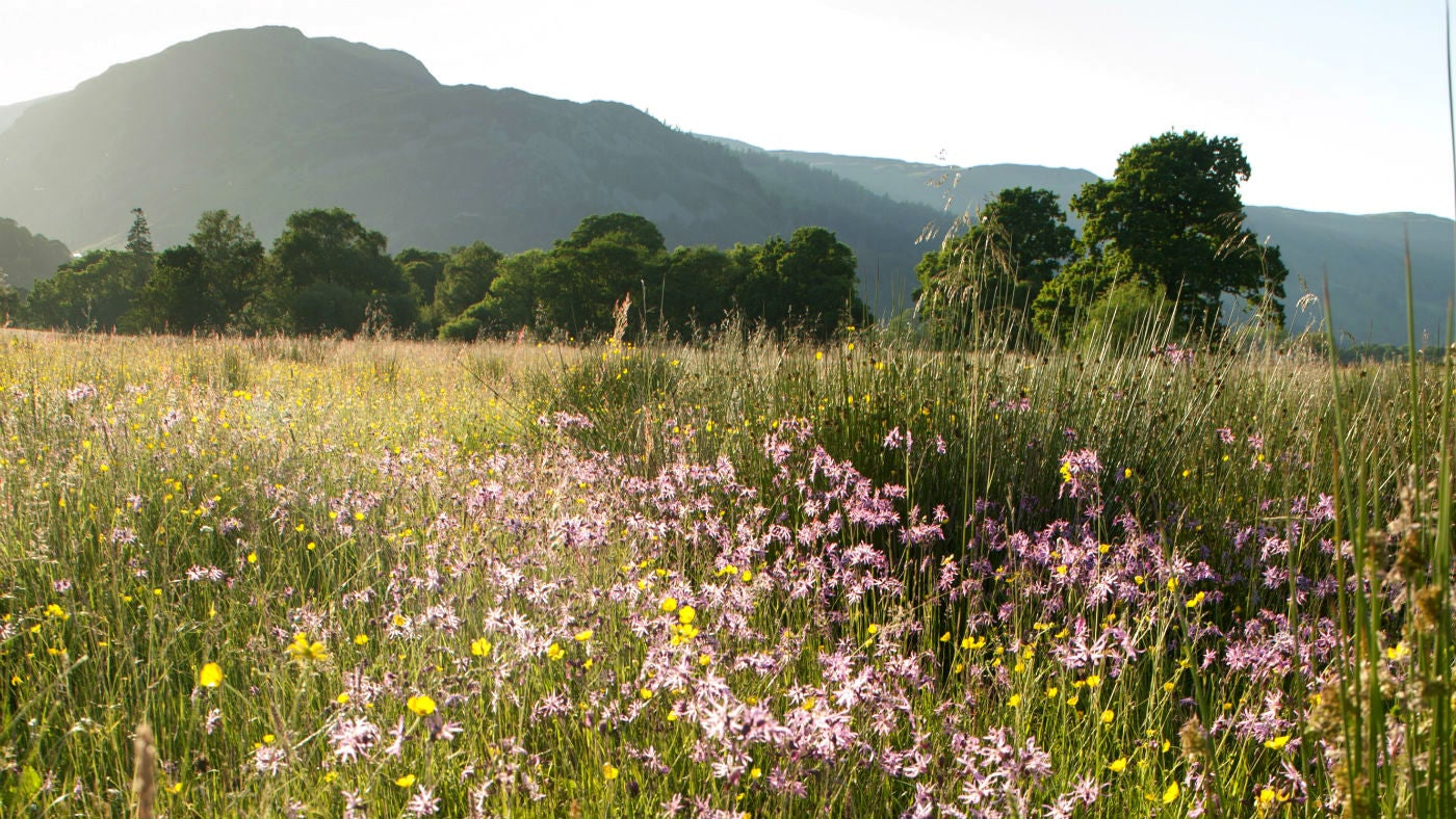 A meadow of wildflowers and grasses in the countryside near Aira Force and Ullswater, Cumbria