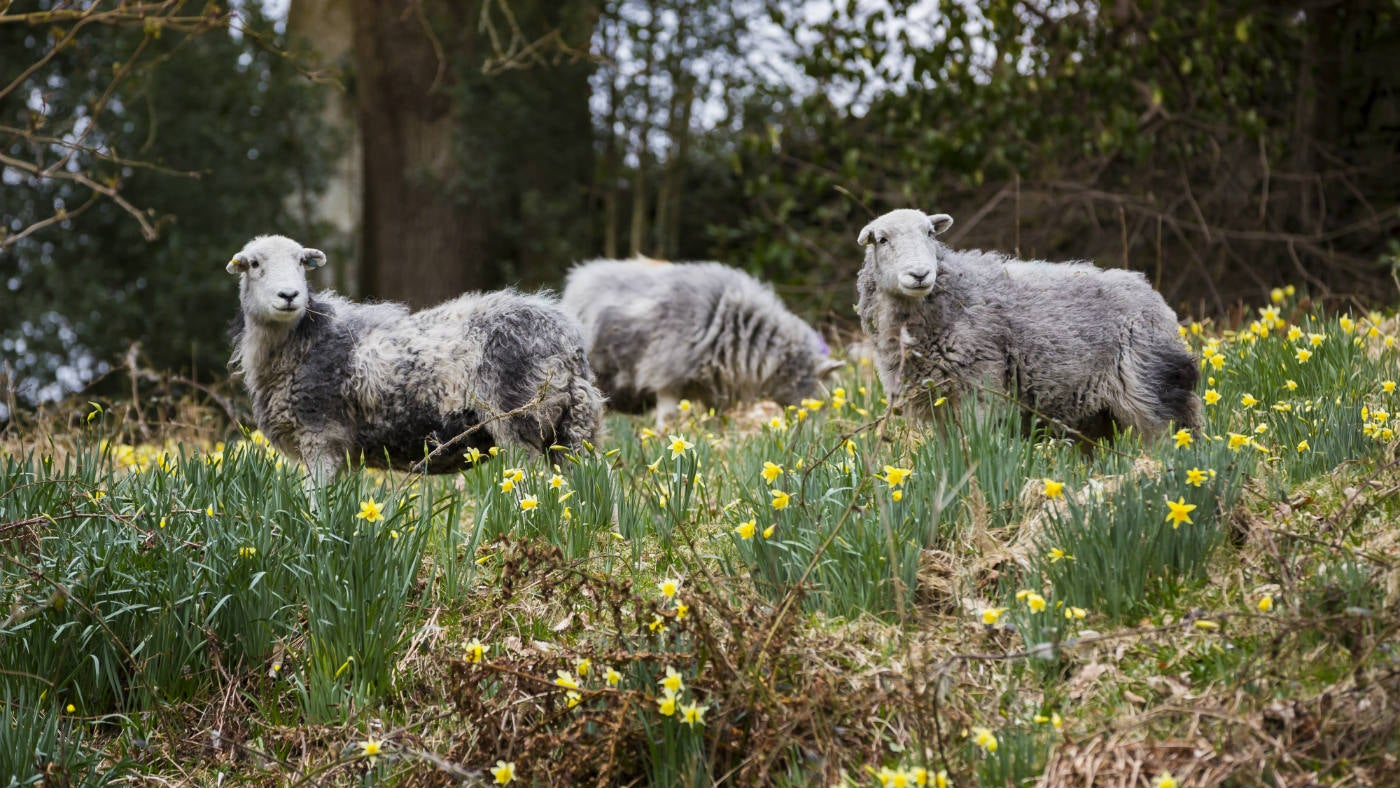 Herdwicks in Dora's Field, Grasmere