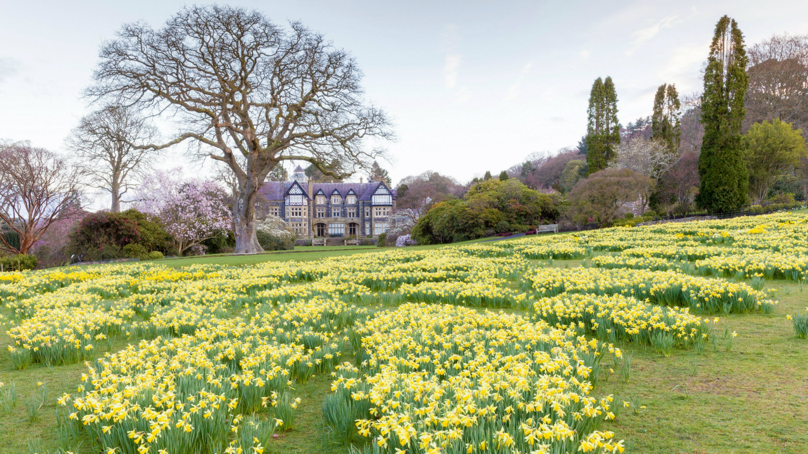 Daffodils in the Old Park at Bodnant Garden