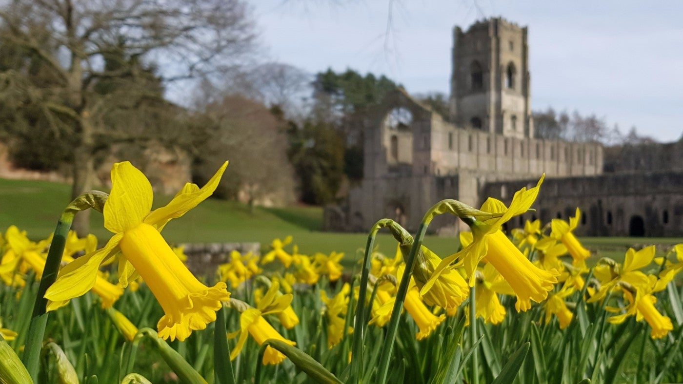 Daffodils blooming around Fountains Abbey