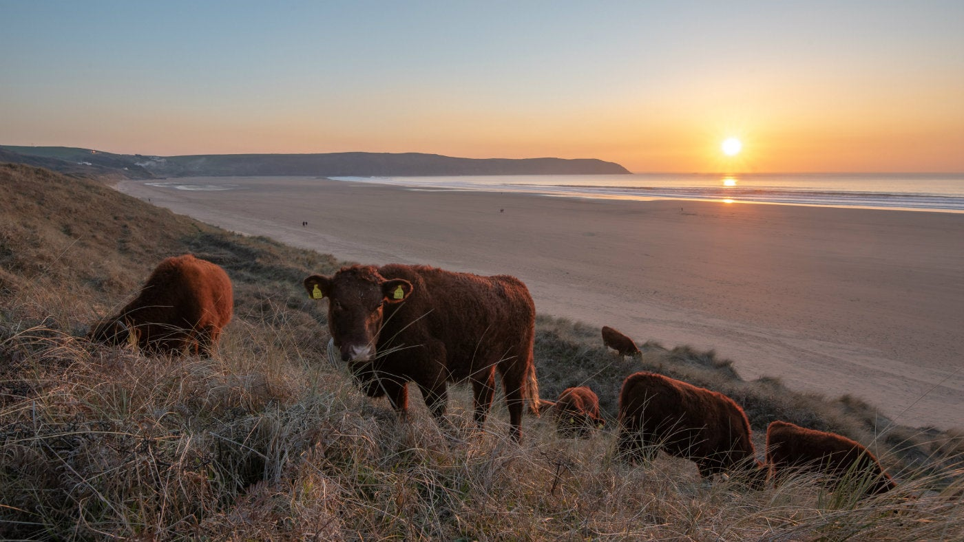 Red Devon Cows at sunset in the Woolacombe Dunes