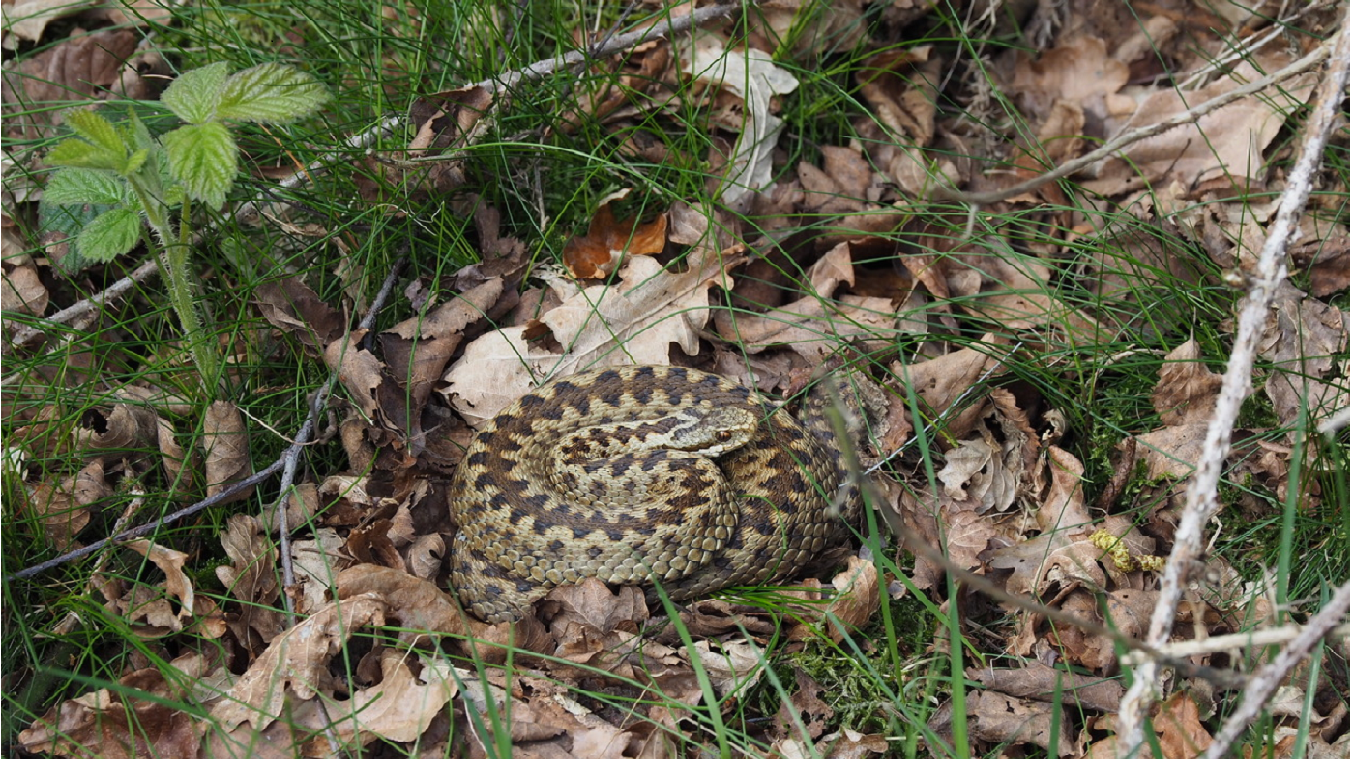 kinver adder