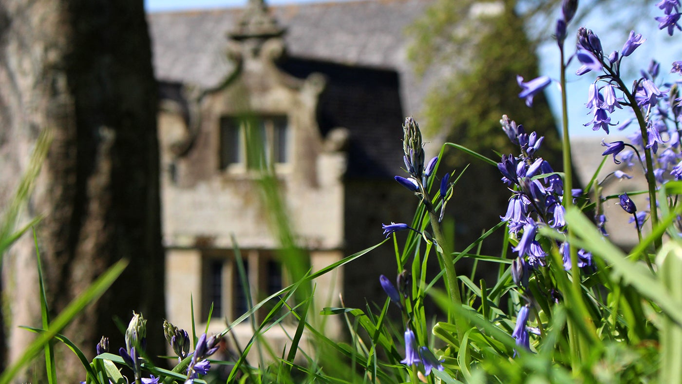 Bluebells in front of the house at Trerice