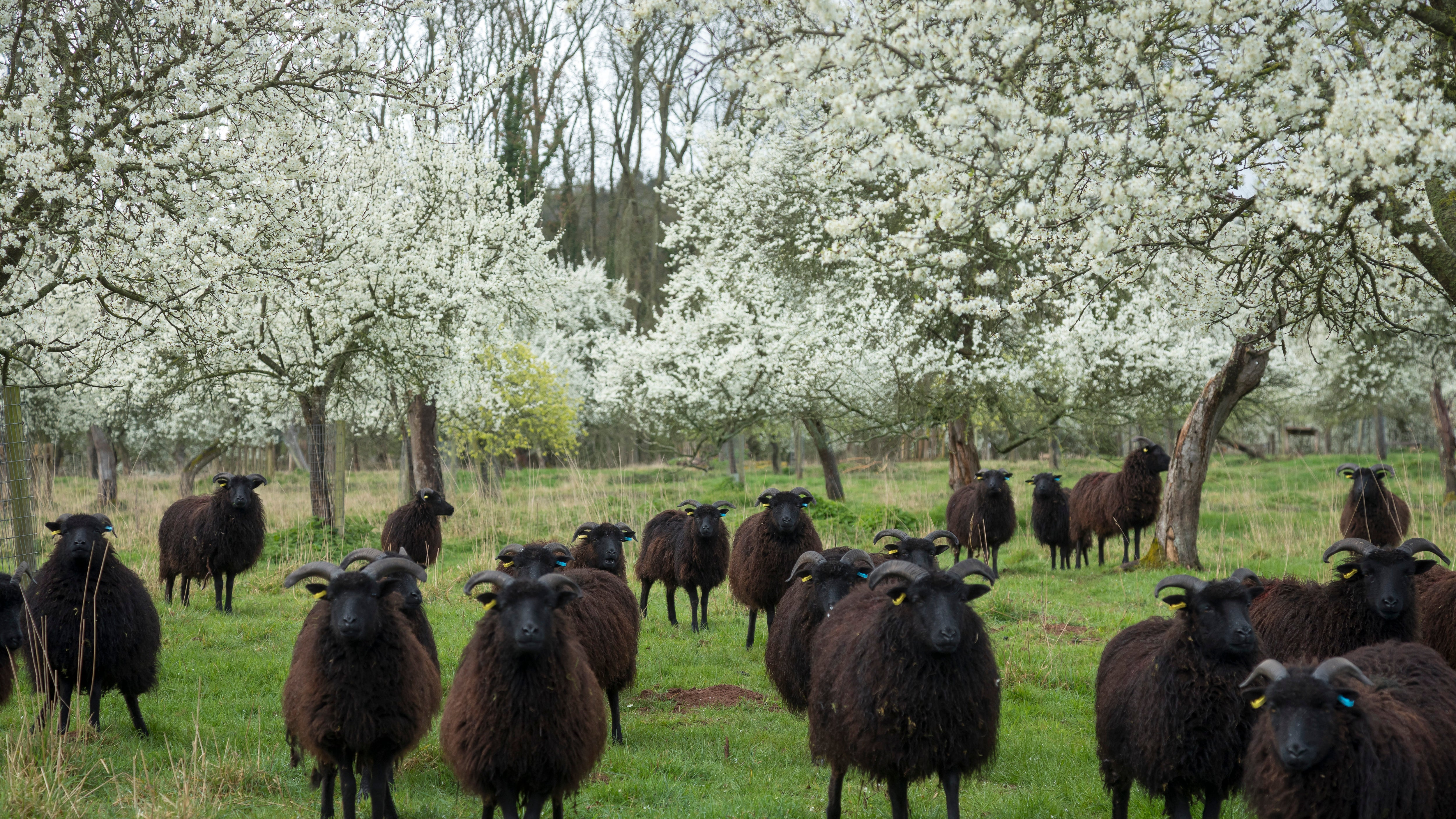 The Hawkins' Hebridean sheep in the orchard, they are small and black with horns