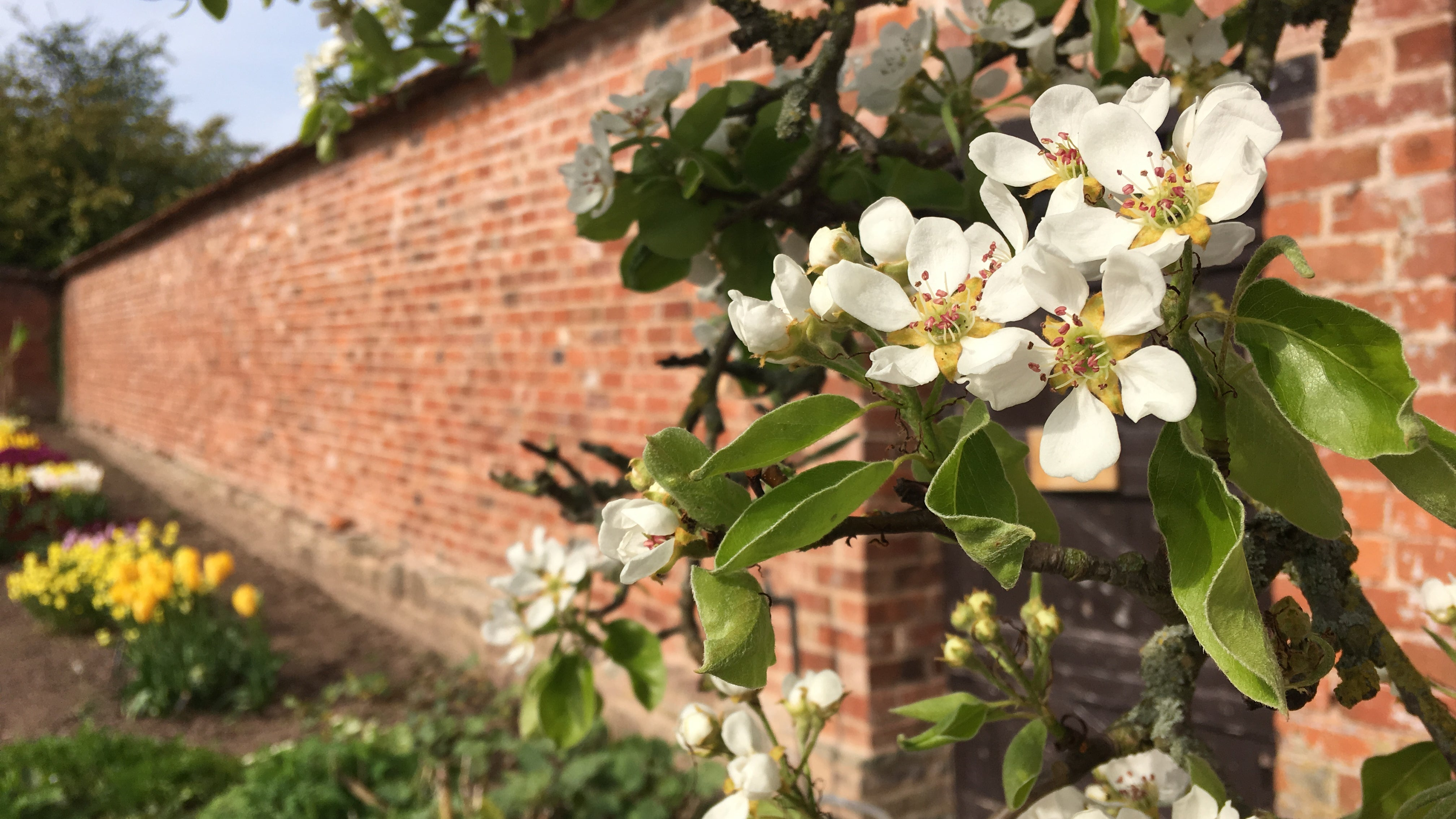 Blossom on a fruit tree in the walled garden