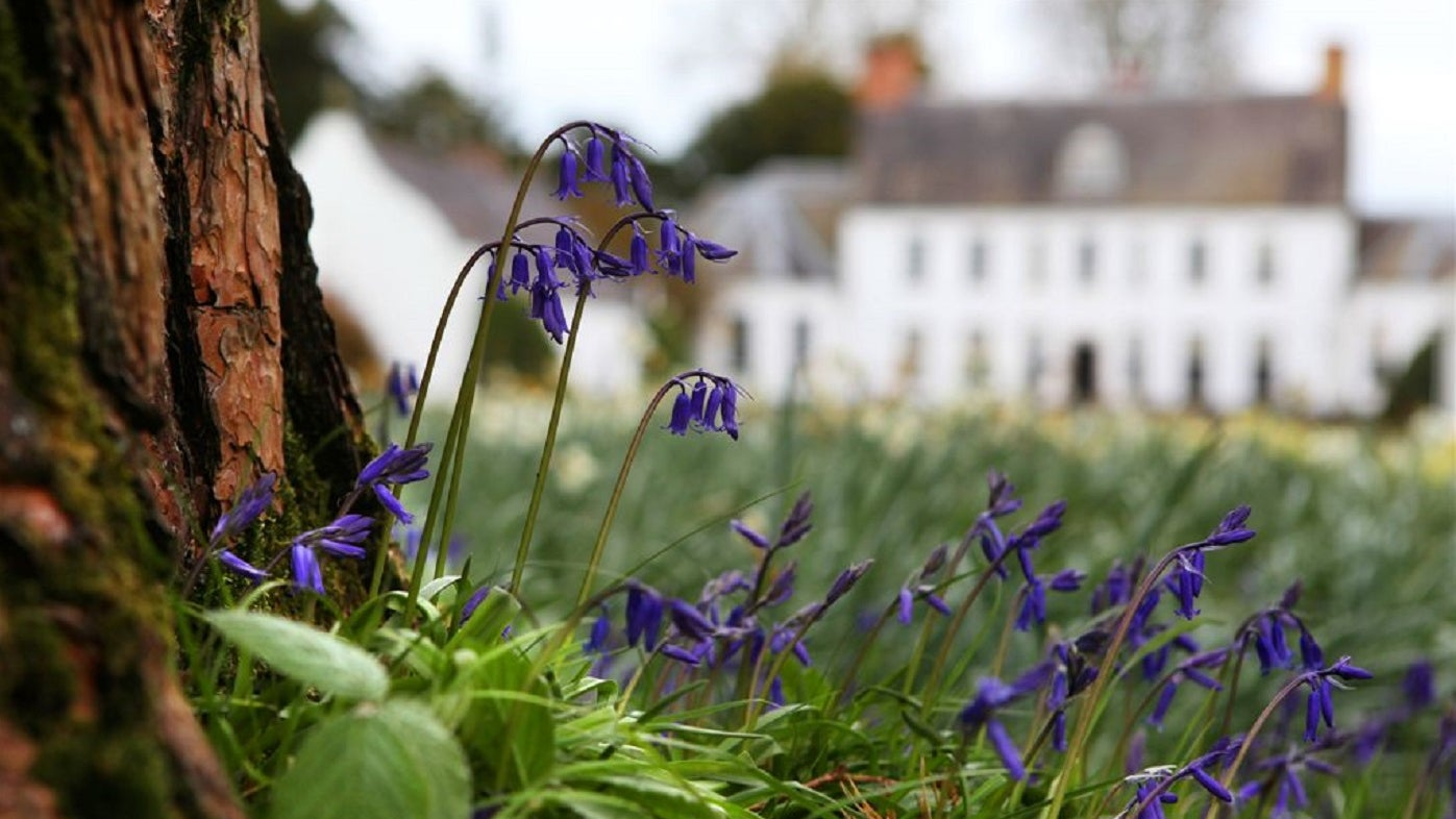 Bluebells at Springhill