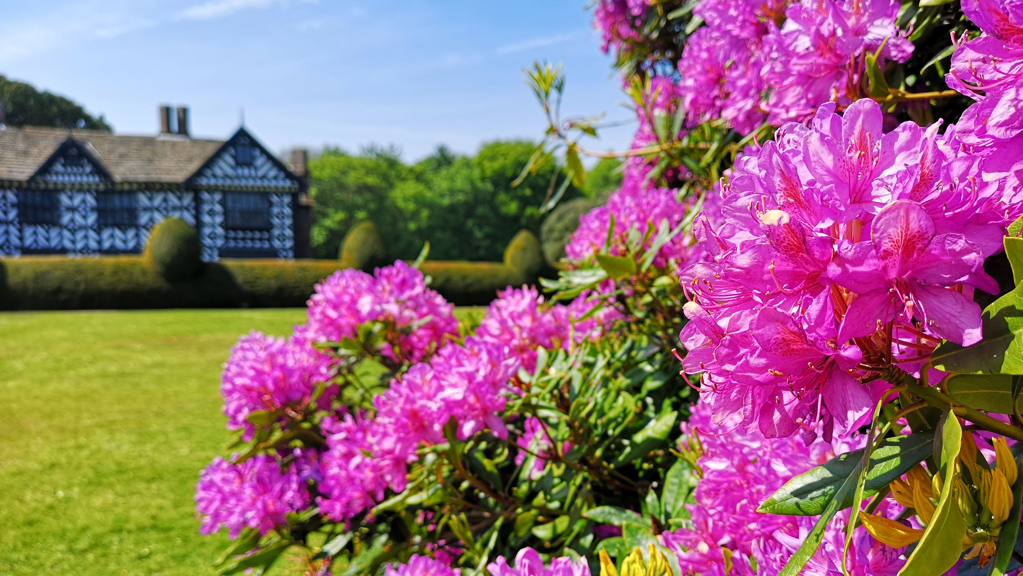 Pink rhododendrons at Speke Hall