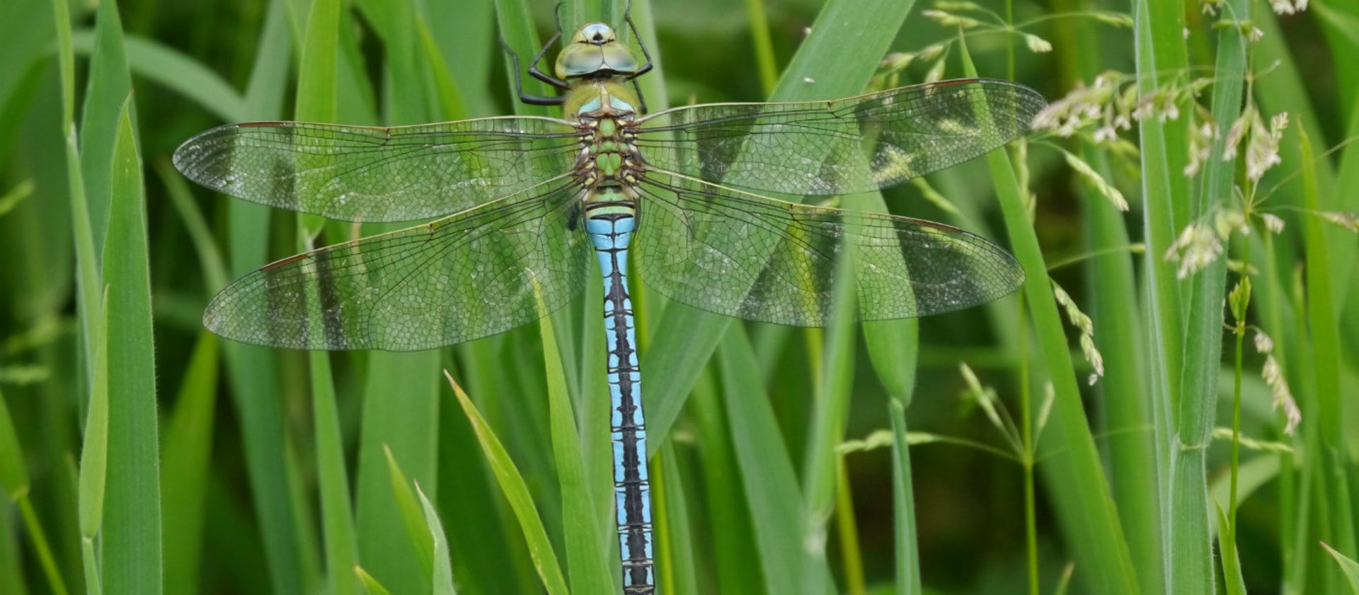 Emperor dragonflies shed underwater skins ready for life above the pond | National TrustVisit our