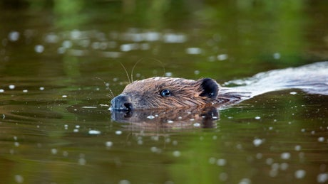 Beaver swimming in the river