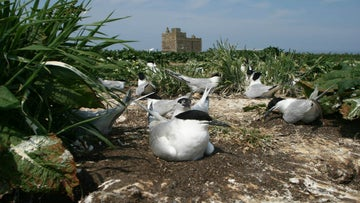 Sandwich terns on Inner Farne