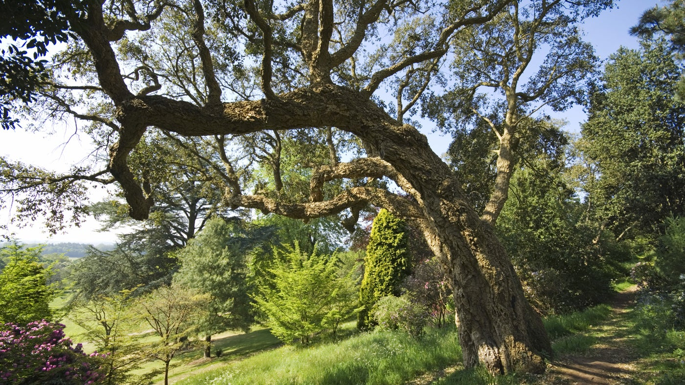 Ancient Oak tree at Killerton