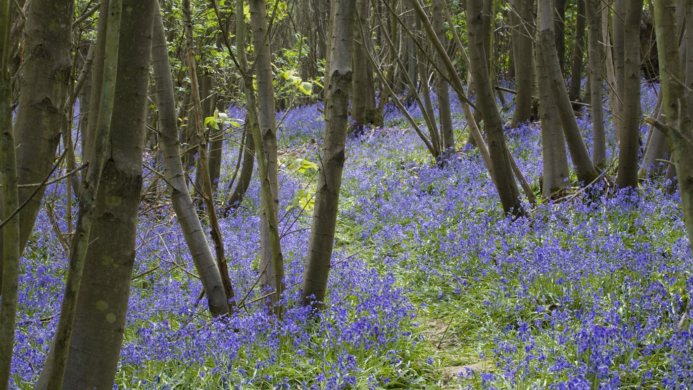 A woodland filled with bluebells in the Spring
