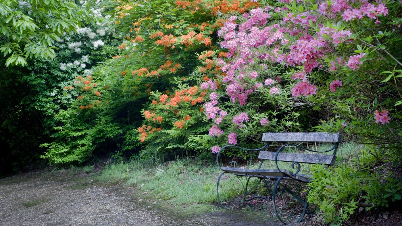 The Rhododendron Wood at Leith Hill, Surrey