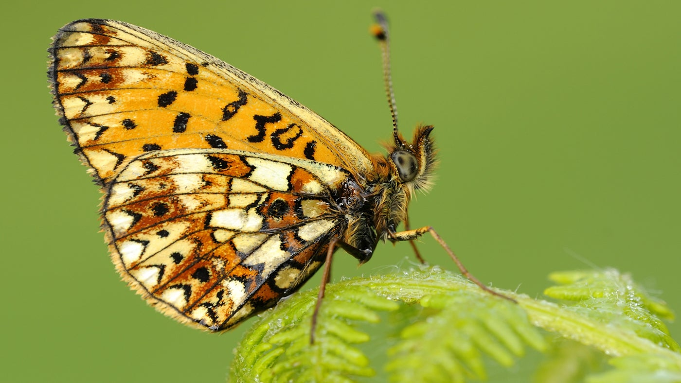 Fritillary butterfly on bracken