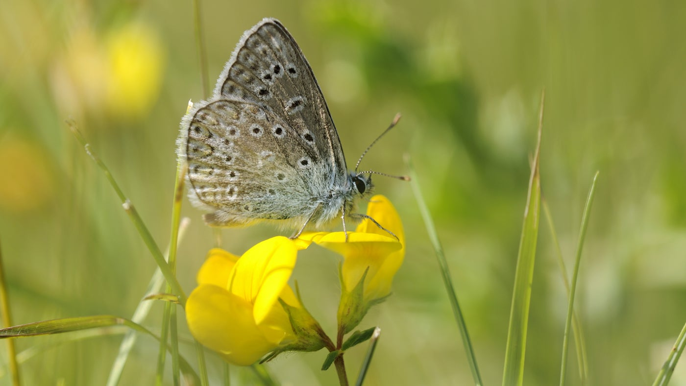 A common blue butterfly rests on top of a yellow bird's foot trefoil wildflower.
