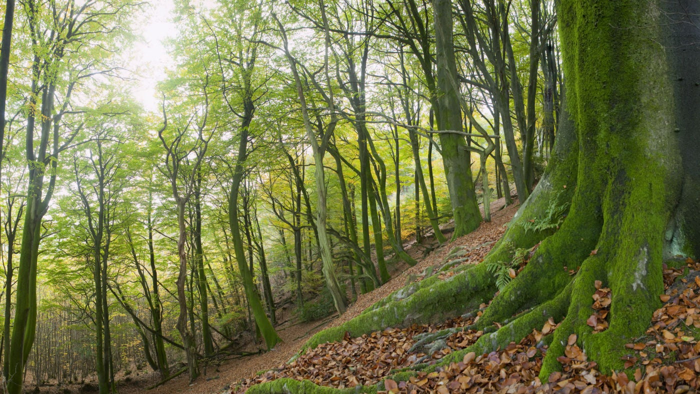 Woodland on the Eastern slope at Black Down, West Sussex