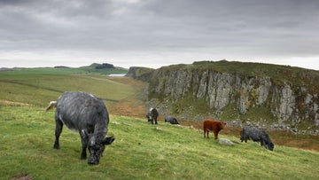 Cattle grazing at Hadrian's Wall, Northumberland