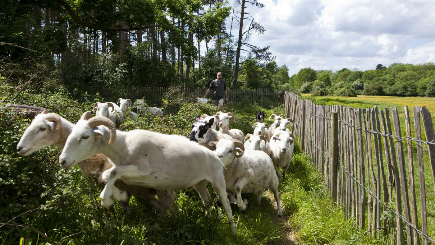 National Trust Warden rounding up sheep near Forest Lodge at Hatfield Forest, Essex.