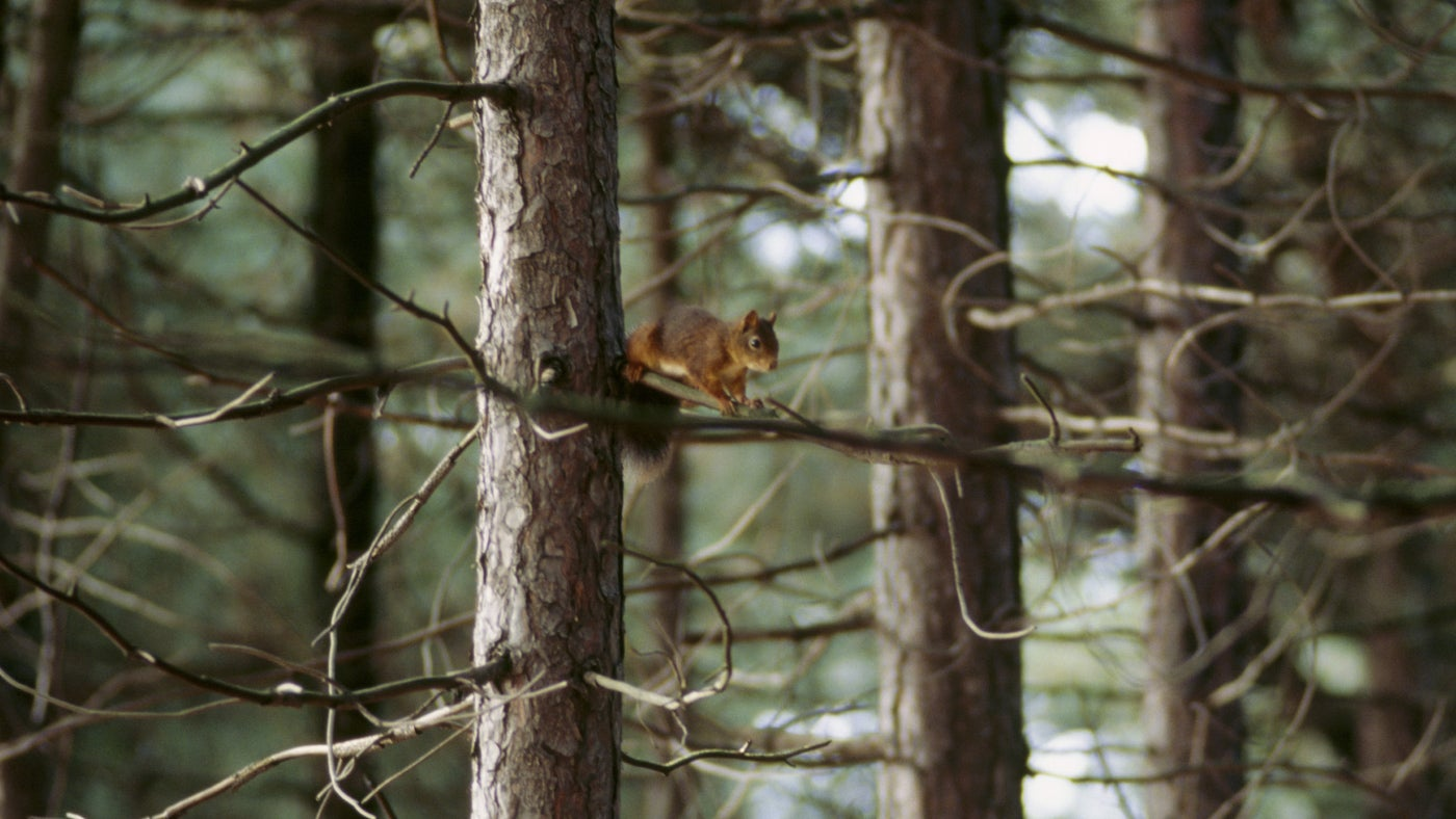 A small red squirrel sits amongst branches at Formby