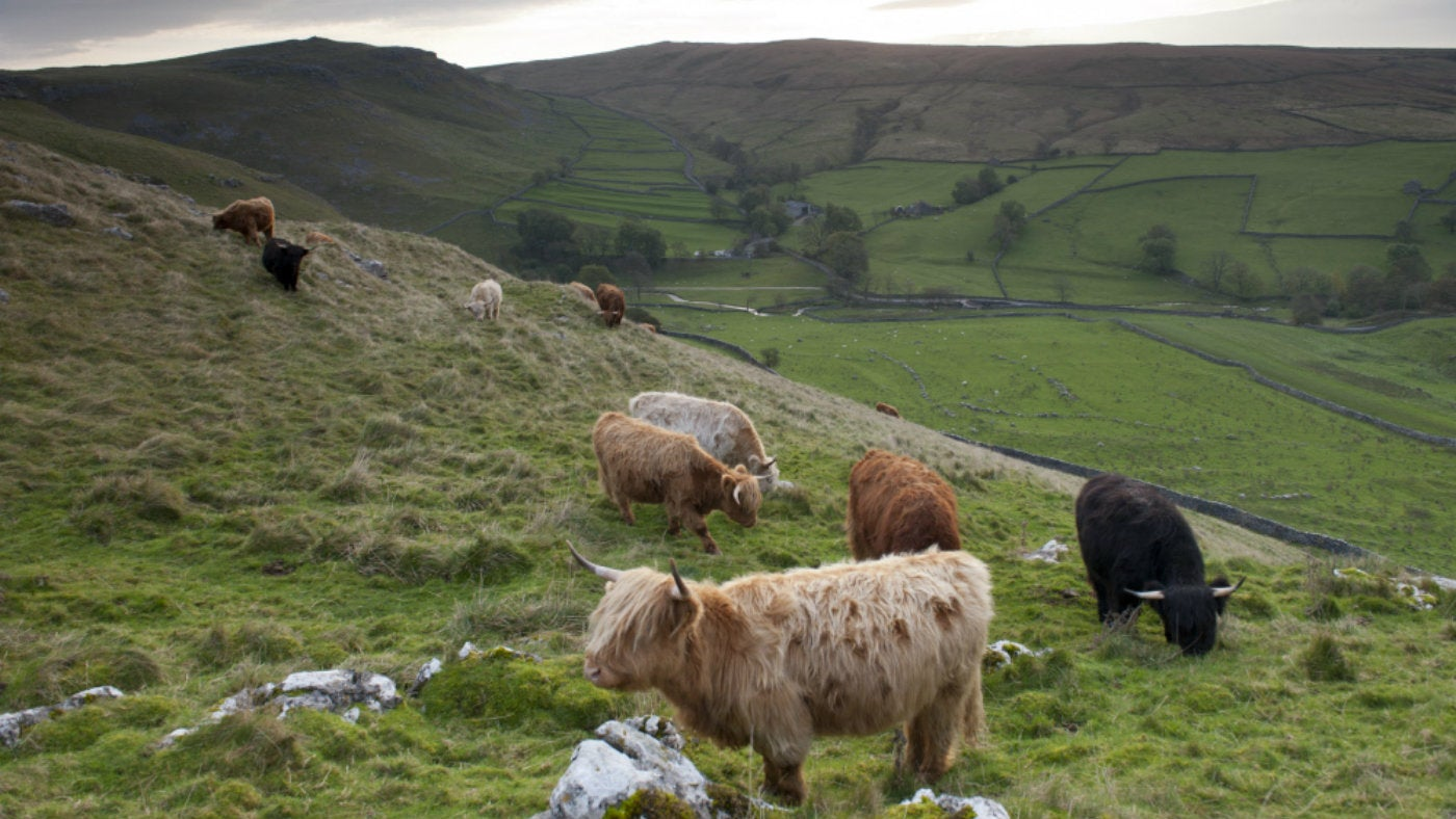 Native highland cattle at Malham Tarn, Yorkshire Dales