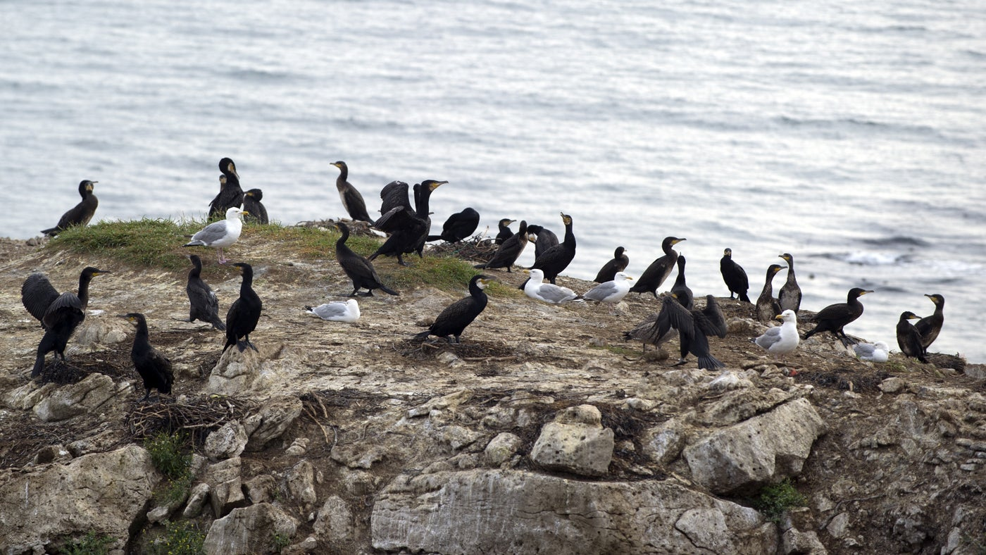 The West facing cliffs of Baggy Point are a nesting place for Cormorants