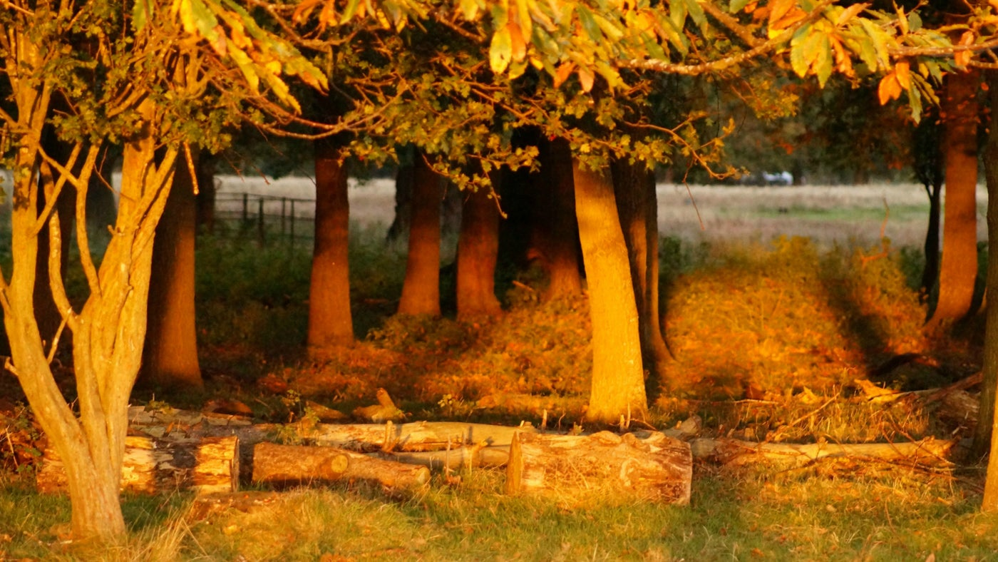 The autumn light in the Deer Park at Attingham
