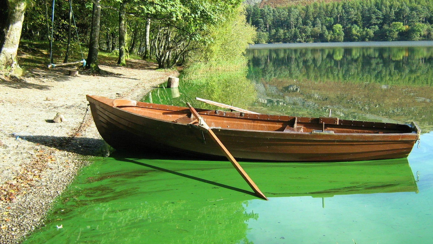 Rowing boat surrounded by blue-green algae bloom Loweswater, Cumbria